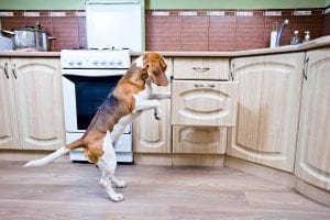 A black and brown beagle with a white stomach and face gets into the middle drawer of the lower cabinets, the wood cabinets are lightly stained and have bronze handles, to the left there is a silver over with many knobs and the kitchen walls are a long, thin, brick red tile with green painted above.